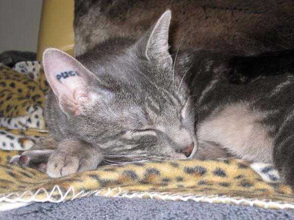 tatouage s dans l'oreille de mon chat