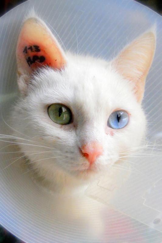 tatouage p oreille chat